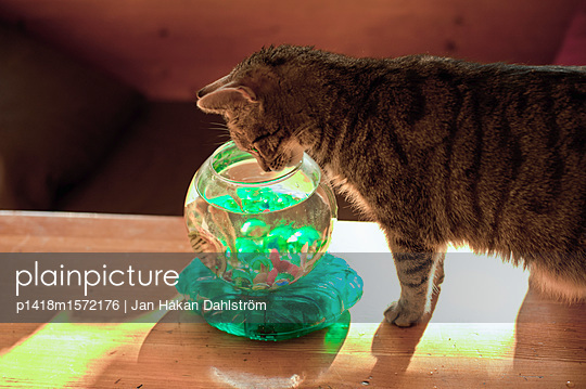 Cat watching plastic fish in bowl - p1418m1572176 by Jan Håkan Dahlström