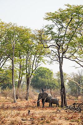 Elefanten im Südluangwa-Nationalpark - p842m1538219 von Renée Del Missier