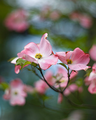 Pink Dogwood Tree Blossoms, Shallow Depth of Field - p694m2097226 by Lori Adams