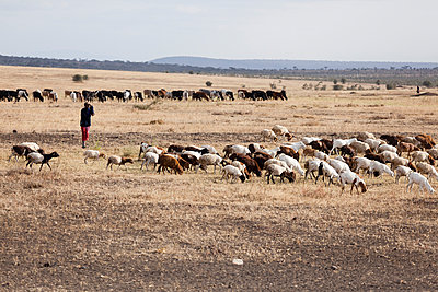 Schafherde in der Serengeti - p842m939643 von Renée Del Missier