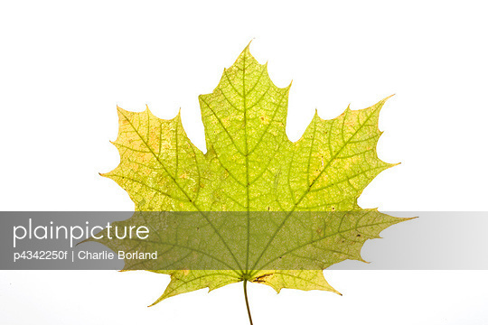 Maple leaf on white background