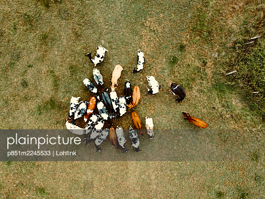 Cattle herd, aerial view - p851m2245533 by Lohfink