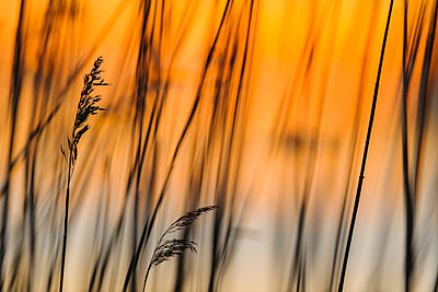 Reed at lakeshore at sunset - p312m1495810 by Mikael Svensson