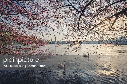 Germany, Hamburg, Germany, Hamburg, blossoming cherry tree at Binnenalster, swimming mute swans - p300m2080936 by Kerstin Bittner