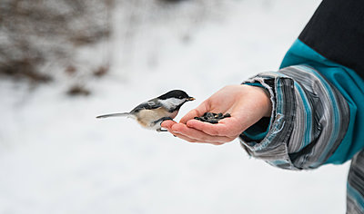 Close up of chickadee bird eating seeds from a child's hand in winter. - p1166m2151761 by Cavan Images