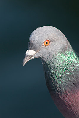 Pigeon - p417m1169318 by Pat Meise