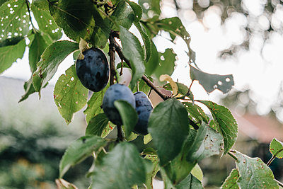Plums on tree - p586m1178410 by Kniel Synnatzschke