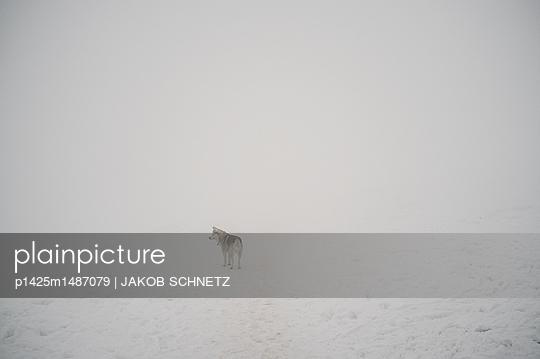 Husky - p1425m1487079 von JAKOB SCHNETZ