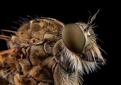High detail portrait of a assilidae fly - p1166m2201105 by Cavan Images