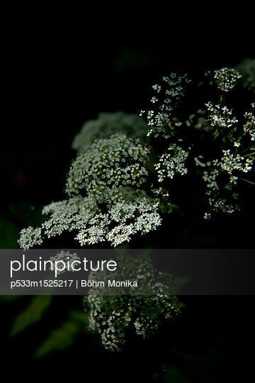Zarte weiße Blüten - p533m1525217 von Böhm Monika