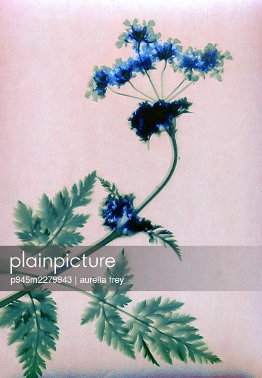 Pressed blue flowers - p945m2279943 by aurelia frey