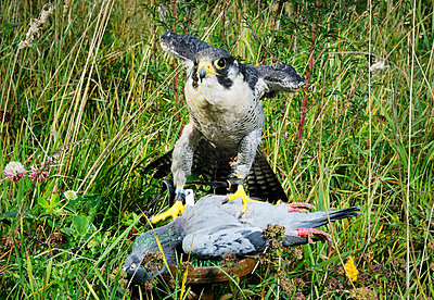 Hawk catching pigeon in field - p42918765 by Mischa Keijser