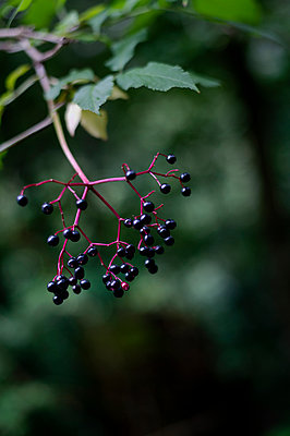 Elderberries - p947m2209383 by Cristopher Civitillo