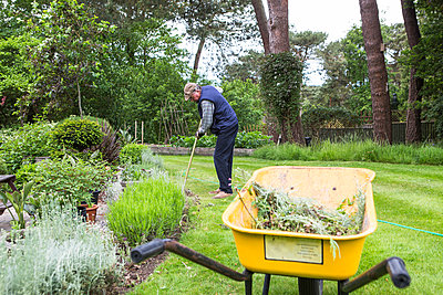 Senior man collecting weed in wheelbarrow - p1026m1164174 by Patrick Frost