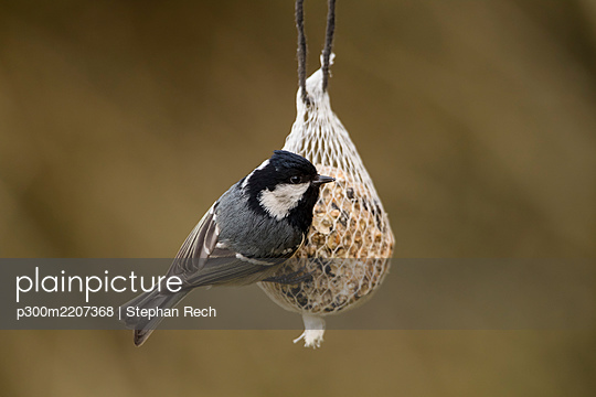 Germany, Hesse, Coal tit on bird feeder - p300m2207368 by Stephan Rech