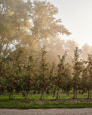 Apfelplantage  - p1124m1069647 von Willing-Holtz