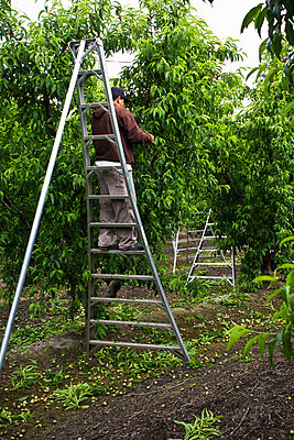 Agriculture - Field worker on a ladder thinning nectarine trees in Spring. Removing a portion of the fruit from the trees results in larger yields of better quality fruit / near Dinuba, California, USA. - p442m1086937 by Steve Goossen