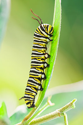 Monarch caterpillar crawling on leaf - p555m1479372 by PBNJ Productions