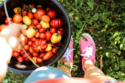 Woman holding a bucket with tomatoes, freshly plucked from the v - p1166m2106358 by Cavan Images