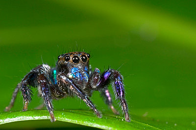 Jumping Spider portrait - p8843805 by Piotr Naskrecki