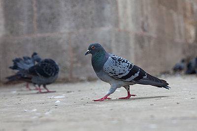 Tauben in Istanbul - p045m1486782 von Jasmin Sander