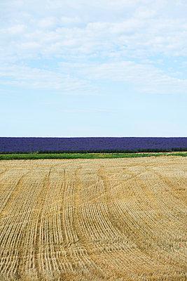 Lavendelfeld, bei Valensole, Plateau de Valensole, Alpes-de-Haute-Provence, Provence, Frankreich - p1316m1161031 von Daniel Schoenen