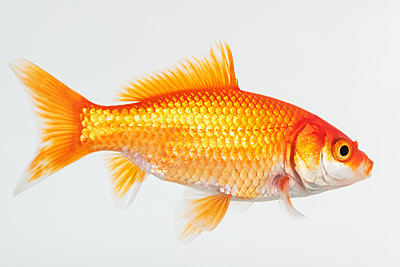Side view of goldfish - p1427m2123424 by Jamie Grill