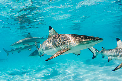 Blacktip reef sharks (Carcharhinus melanopterus) cruising the shallow waters of Moorea, Society Islands, French Polynesia - p871m2068637 by Michael Nolan