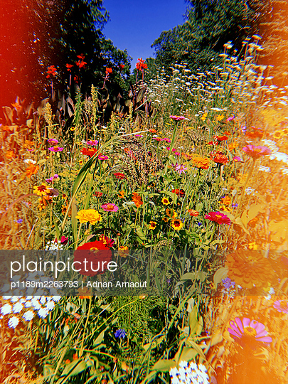 Colourful flowers in the garden - p1189m2263793 by Adnan Arnaout