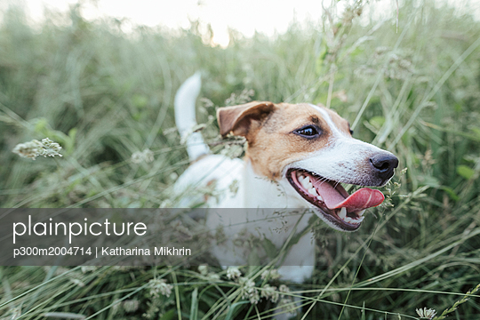 Portrait of Jack Russel Terrier on a meadow - p300m2004714 von Katharina Mikhrin