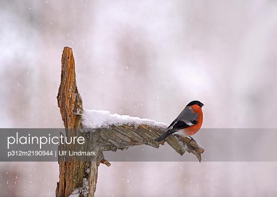 Bullfinch perching on branch - p312m2190944 by Ulf Lindmark