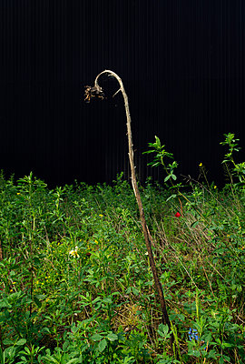Dead sunflower at night - p1132m925466 by Mischa Keijser