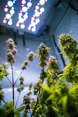Cannabis - p1149m2182425 by Yvonne Röder