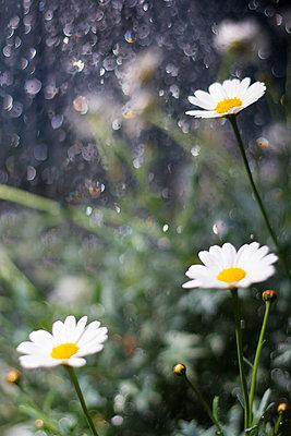 Marguerites in the rain - p739m1030872 by Baertels