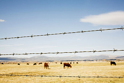 Prairie cattle and barbed wire fence - p9240760 by kohrling