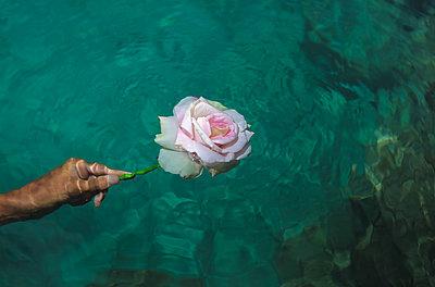 Hand hält Rose im Wasser - p045m2038007 von Jasmin Sander