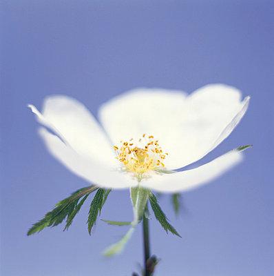 Weiße Blume - p4950184 von Jeanene Scott