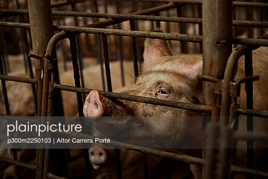 Pig in cage at animal pen - p300m2250103 by Aitor Carrera Porté