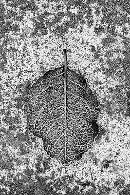 Frosted autumnal leaf on stone surface - p1433m2150482 by Wolf Kettler