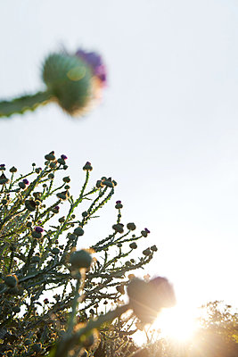 Thistle blossoms in the backlight - p533m2065573 by Böhm Monika