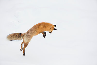 Red Fox hunting vole in winter, Yellowstone National Park, Wyoming. Sequence 1 of 6 - p884m1135795 by Donald M. Jones