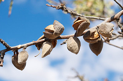 Ripe almonds - p8850010 by Oliver Brenneisen