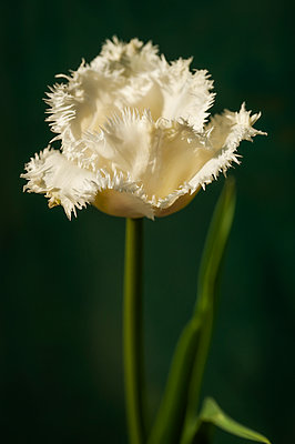 White fringed tulip flower - p1047m1564516 by Sally Mundy