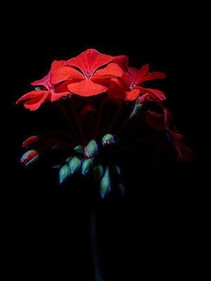 Geranium with red blossoms - p885m2173733 by Oliver Brenneisen