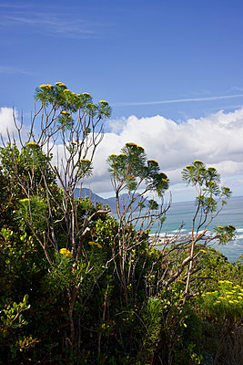 Yellow blooming bush, Metalasia Massonii, on the coast - p1640m2246095 by Holly & John
