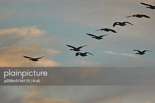 Kanadagänse fliegen in V-Formation durch den abendlichen Himmel - p235m2134170 von KuS