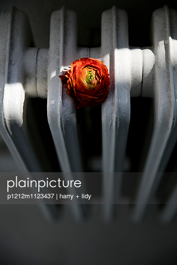 Rote Ranunkel auf dem Heizkörper - p1212m1123437 von harry + lidy