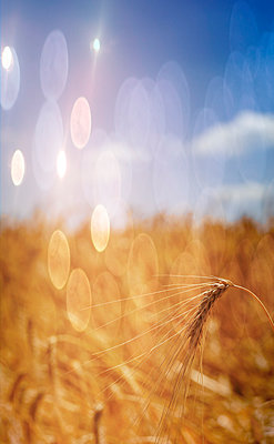 Barley ear on field right before harvest - p300m2012497 by EJW