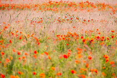 Flower field - p739m1147291 by Baertels
