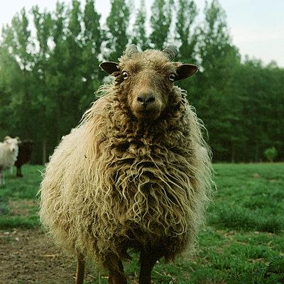 Sheep - p989m919194 by Gine Seitz